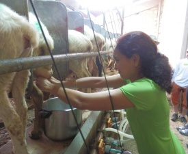 Milking sheep with Patxi 2