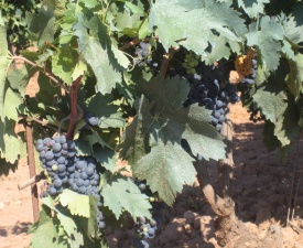 Rioja vineyards Photo - Fitzgerald