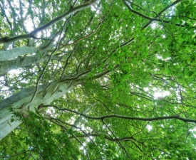 Looking up at the beech