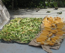 Corn and beans drying